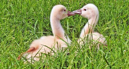 two ducks talking