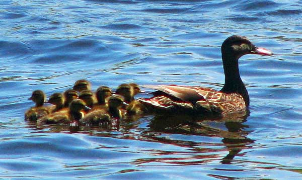 ducklings following a duck - membership