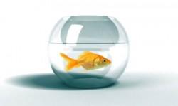 goldfish-in-bowl